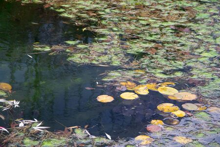Yellow leaves of waterlily in the ditry pond autumn time Banque d'images - 132066042