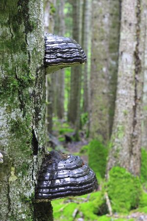 Black mushrooms growing on the trunk of tree in the forest summertime