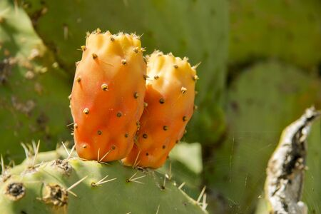 Prickly pear cactus aka opuntia on the leaves of cactus with ripe red and yellow fruits Stock Photo