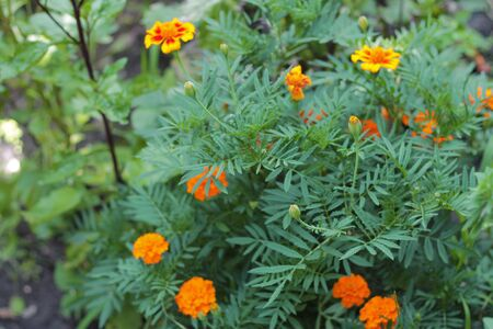 Bush of Orange marigolds aka tagetes erecta flower on the flowerbed in the garden