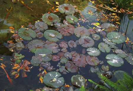 Leaves of waterlily in the tropical pond autumn time