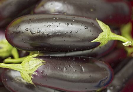 A harvest of fresh black eggplant with stems and water drops closeup, healthy food
