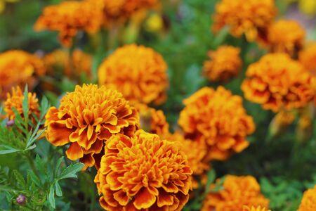 Orange marigolds aka tagetes erecta flower closeup on the flowerbed in the garden Stock Photo