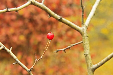 Red dog rose hips on the dog rose bush without leaves autumn time