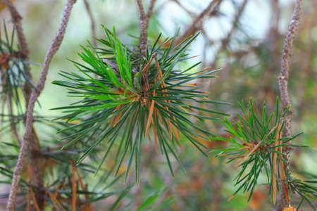 The branches of fir tree evergreen with needles closeup