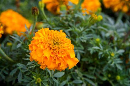 Orange marigolds aka tagetes erecta flower closeup on the flowerbed in the garden