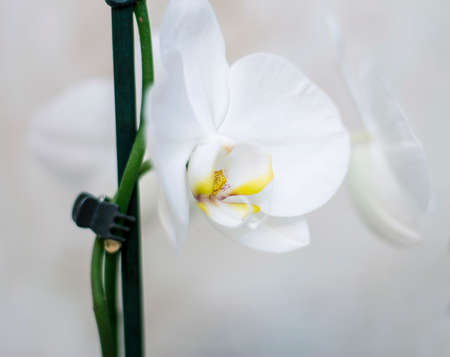 Blooming orhid flowers Phalaenopsis white colors blossoming close up