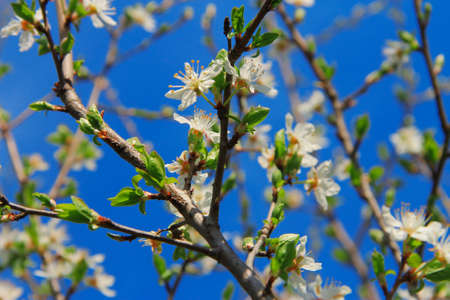 White flowers blooming on the branch of wild fruit tree closeup against clear blue sky as background