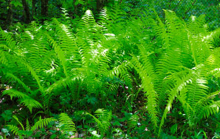 The Bush of green fem leaves in the forest