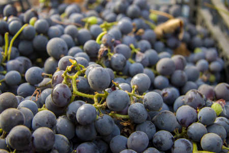 The black wine bunch of grapes after harvest ready to produce wine Stock fotó