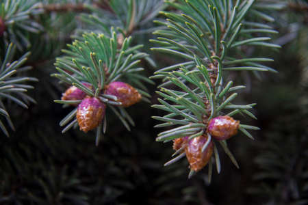 Blue pine tree with small violet cones and green needles closeup in the forest
