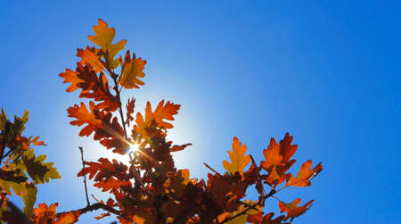 An Yellow oak leaves on the branches against blue sky in the autumn forest. Golden autumn Stock fotó