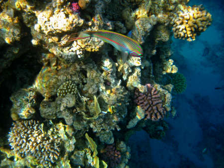 Tropical exotic fish thalassoma rueppellii moving over the reef underwater of Red sea Stock fotó