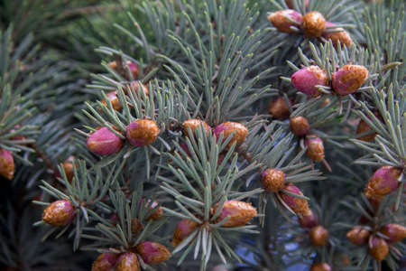 Pine tree with small violet cones and green needles closeup in the forest