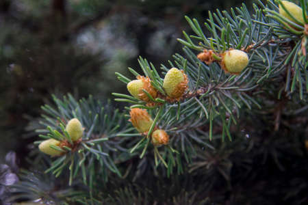 Pine tree with small green cones and green needles closeup in the forest Standard-Bild