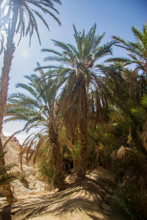 Date palm tree without date fruits against blue sky with white clear sky in oasis Standard-Bild