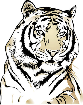 tigres: Tiger  Illustration