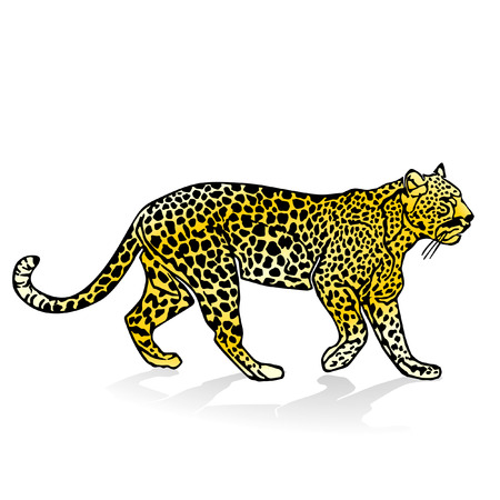 panther:  leopard