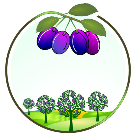 rich in vitamins: plum cultivation