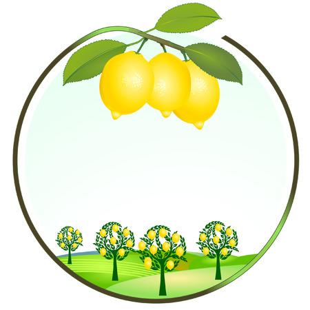 cultivo de limón  Ilustración de vector