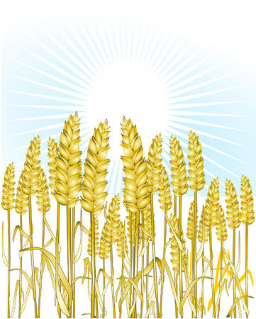 grain fields: bread wheat Illustration
