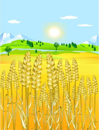 barley field: golden grain-field Illustration