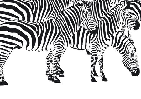 camouflage pattern: Zebras