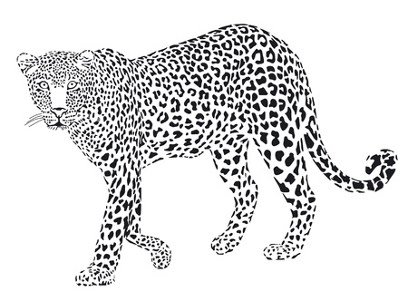 leopard: Leopart black on a white background