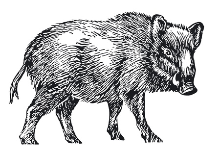 wild boar Stock Vector - 11464506