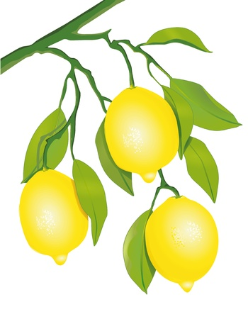 lemon lime: Limoni sull'albero Vettoriali