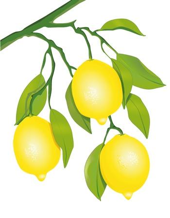 citricos: Los limones en el �rbol