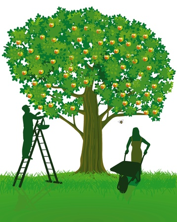 baum pflanzen: Apfelbaum und Ernte Illustration