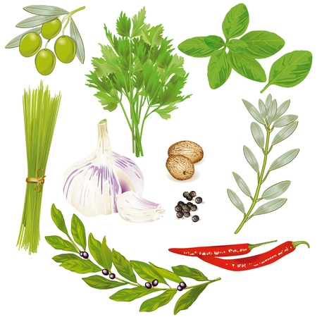 basilico: Especias y hierbas Vectores