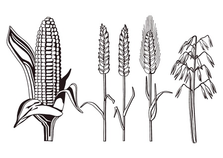barley field: cereal varieties