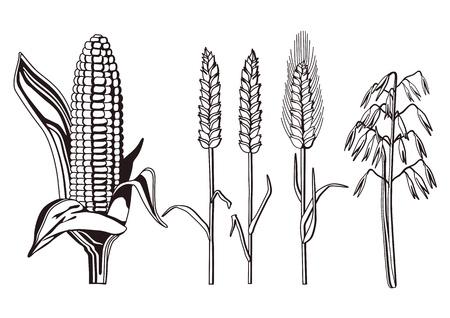 avena: variedades de cereales