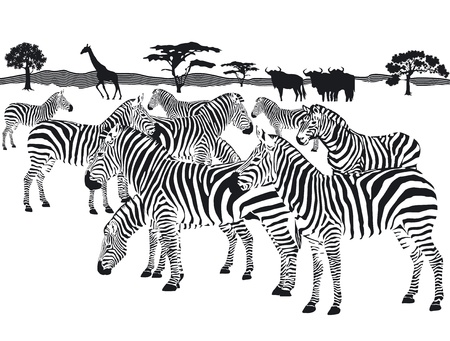 herd of zebras Illustration