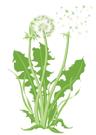 dandelion wind: Dandelion, Blowball Illustration