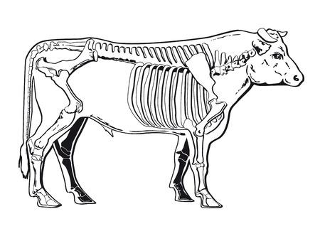 butchering: Cattle skeleton Illustration