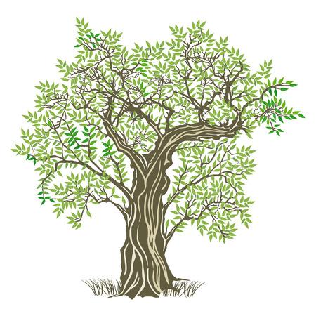 olijf: oude olijfboom Stock Illustratie