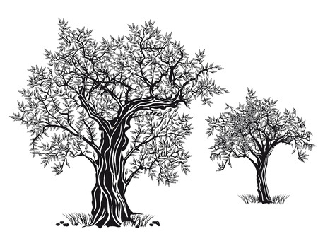 olive branch: olive trees Illustration