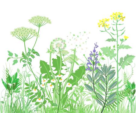 Kräuter und Wildblumen. Botanische Illustration