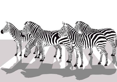 Zebras on the crosswalk, illustration
