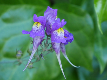 Herbaceous plant called