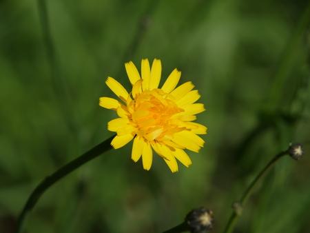 Yellow daisy flower Reklamní fotografie