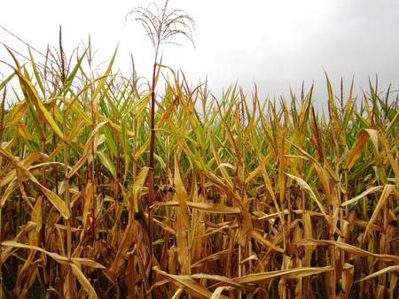 Corn field in Galicia with cloudy sky