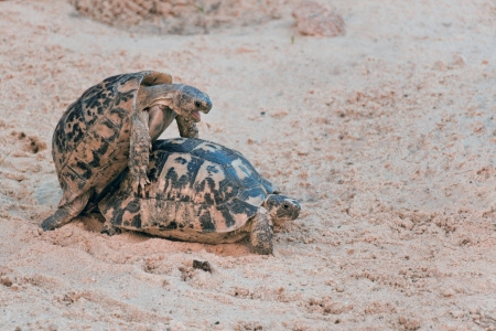 animal mating: Turtle couple make love on the sand