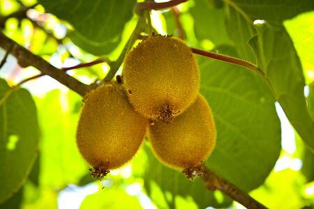 kiwi fruta: Kiwi beb� de �rboles frutales. Creciendo en marcha de los kiwis.