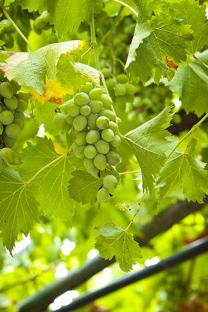 cabernet: Maduras las uvas cabernet listos para la cosecha