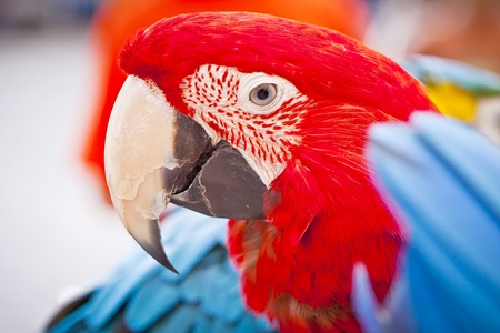 A macaw looks so happily. scarlet macaws perched.
