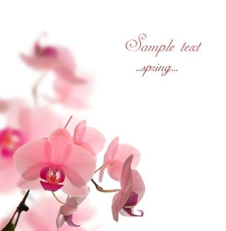 fleur de cerisier: flofers beautyfull en arri�re-plan blanc